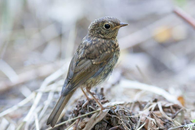 Petirrojo joven (rubecula del Erithacus) Pájaro salvaje en un habitat natural foto de archivo libre de regalías