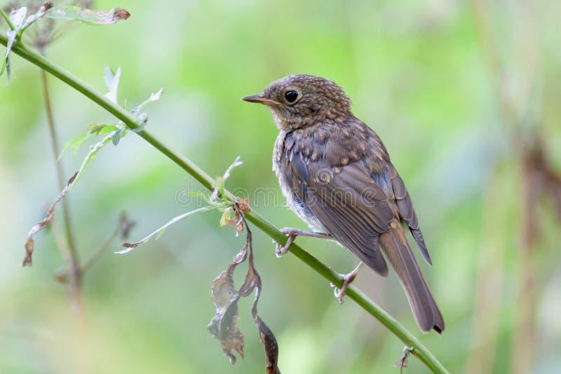 Petirrojo joven (rubecula del Erithacus) Pájaro salvaje en un habitat natural fotografía de archivo