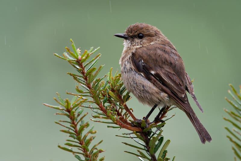 Petirrojo oscuro - pájaro endémico de la canción del vittata de Melanodryas de Tasmania, Australia, en la lluvia imágenes de archivo libres de regalías