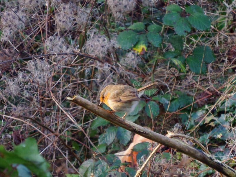 Petirrojo por la mañana en el arbusto, pájaro hermoso imagen de archivo