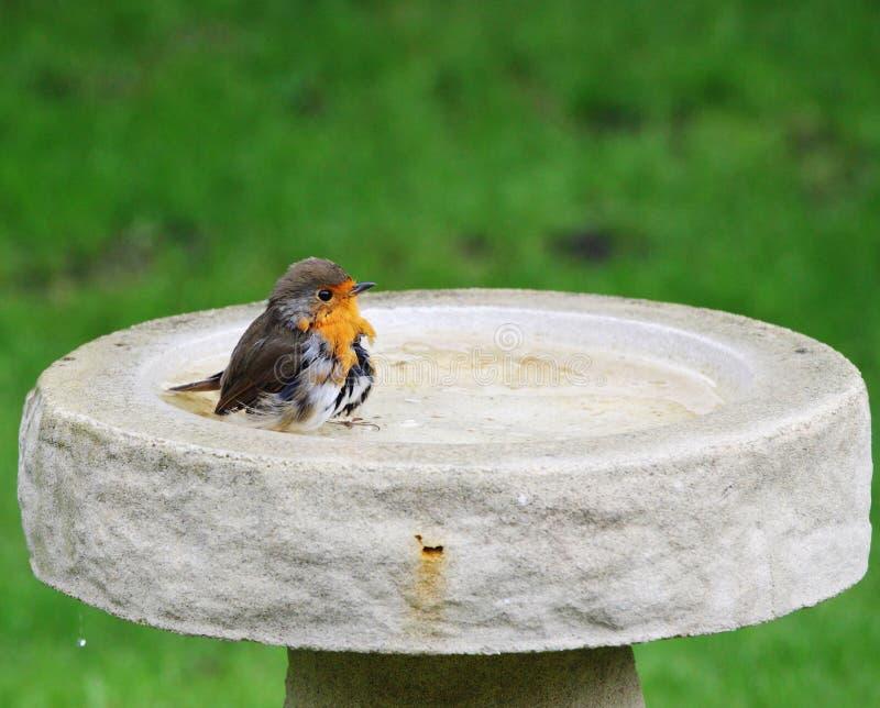 Petirrojo Redbreast en un baño del pájaro imagen de archivo