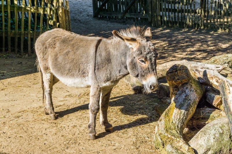 Petit âne asiatique gris brun adorable dans la fin vers le haut du beau portrait animal photographie stock