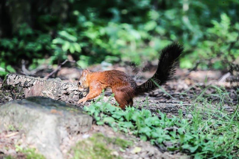 Petit écureuil de Brown : Garry photos stock