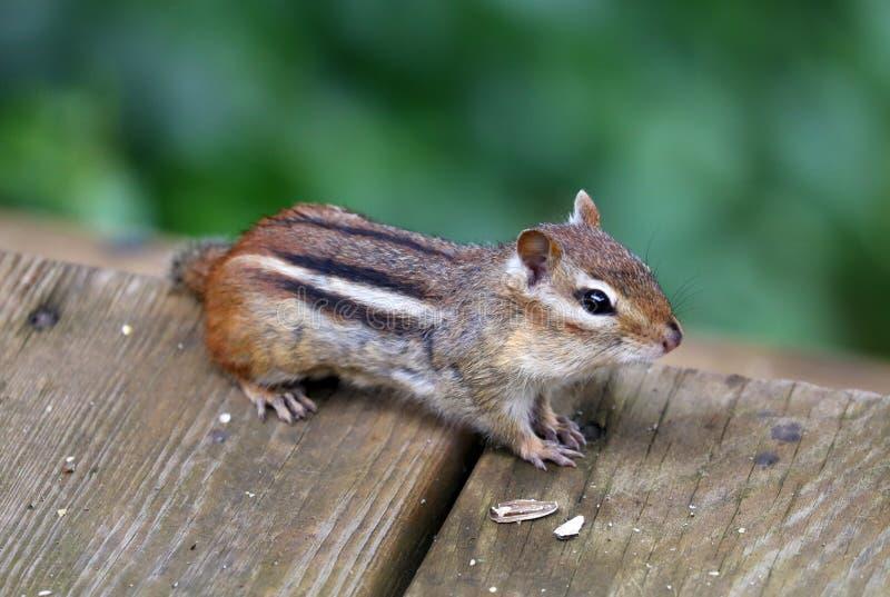 Petit écureuil de tamia mignonne recherchant la nourriture photographie stock libre de droits