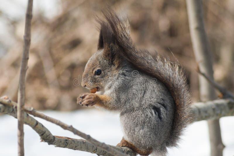 Petit écureuil rouge mignon se reposant sur la branche d'arbre minuscule photo stock