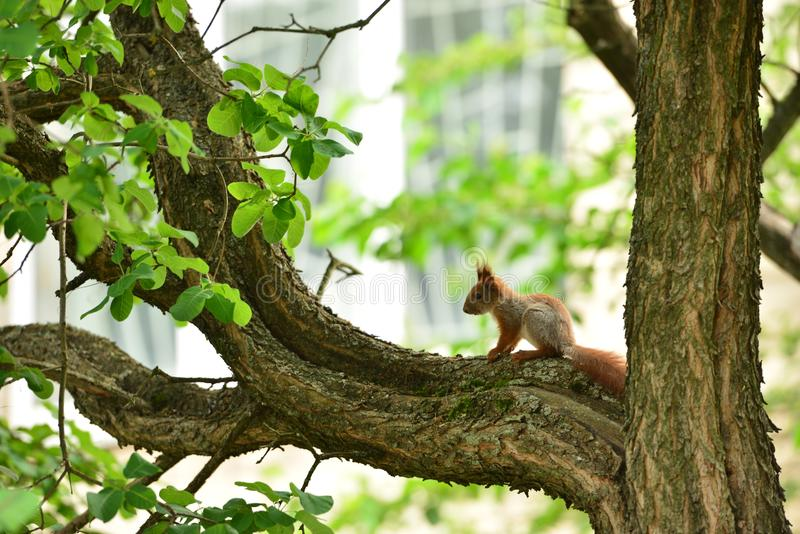 Petit écureuil sur la branche image libre de droits