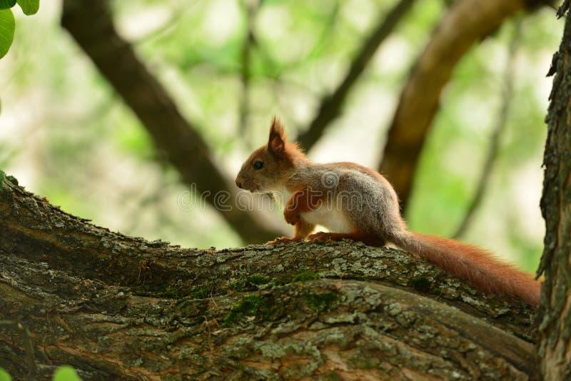 Petit écureuil sur la branche photographie stock