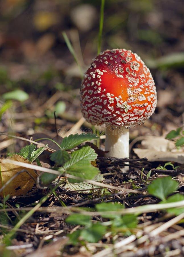 Download Petit agaric de mouche photo stock. Image du inedible - 45352410