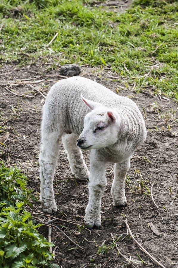 Petit agneau à une ferme photos libres de droits