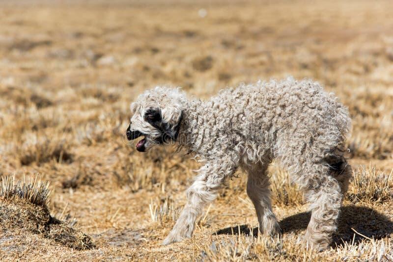 Petit agneau images libres de droits