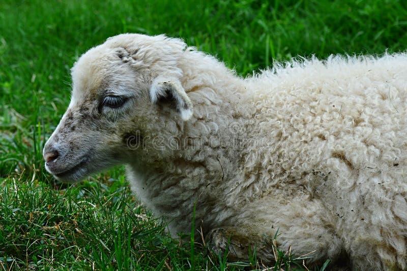 Petit agneau du Bélier d'Ovis de moutons se situant paisiblement dans l'herbe verte fraîche photographie stock libre de droits