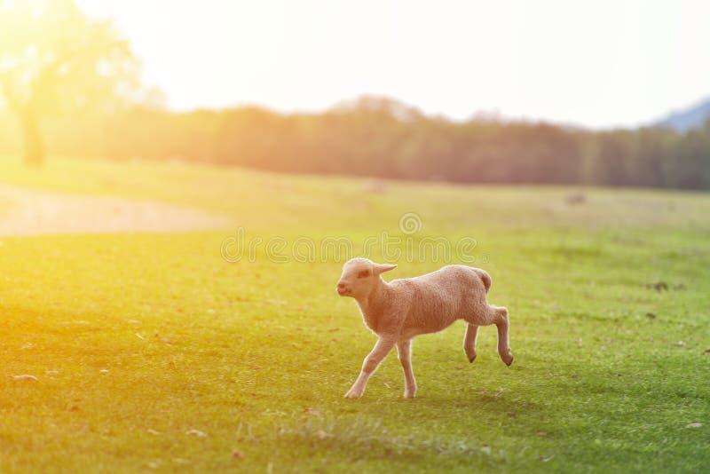 Petit agneau heureux fonctionnant et sautant dans la lumière chaude de lever de soleil sur le beau pré photographie stock libre de droits