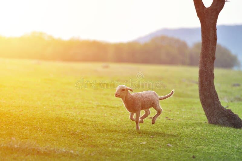 Petit agneau heureux fonctionnant et sautant dans la lumière chaude de lever de soleil sur le beau pré photos libres de droits
