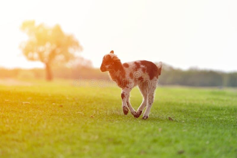 Petit agneau heureux fonctionnant et sautant dans la lumière chaude de lever de soleil sur le beau pré image stock