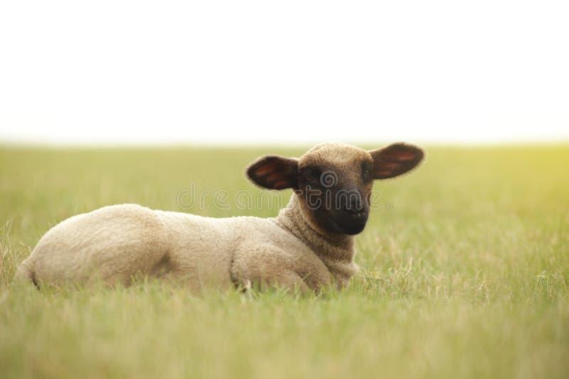 Petit agneau se trouvant sur une correction d'herbe d'herbe s'étendant au ciel regardant vers la visionneuse - humeur légère enso image stock
