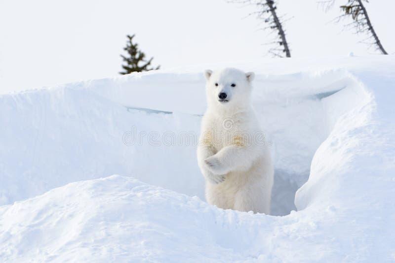 Petit animal d'ours blanc (maritimus d'Ursus) images stock
