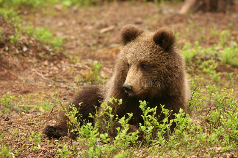 Petit animal d'ours brun mignon s'étendant derrière un buisson photographie stock