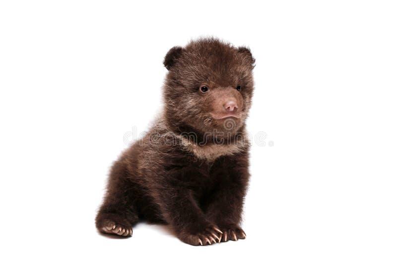 Petit animal d'ours de Brown (arctos d'Ursus), sur le blanc photos stock