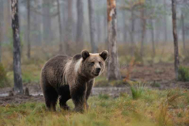 Petit animal d'ours de Brown dans la brume photos stock