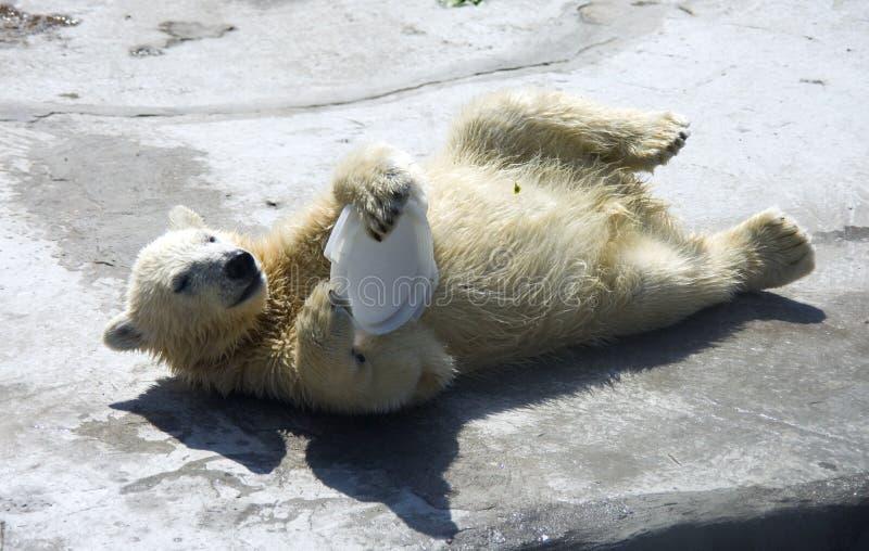 Petit animal d'ours mammifère prédateur d'ours blanc l'Arctique photographie stock libre de droits