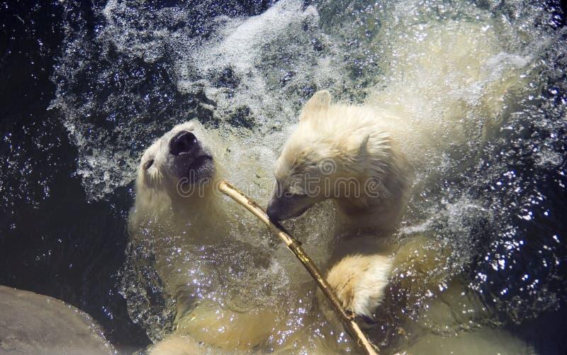 Petit animal d'ours mammifère prédateur d'ours blanc l'Arctique photographie stock