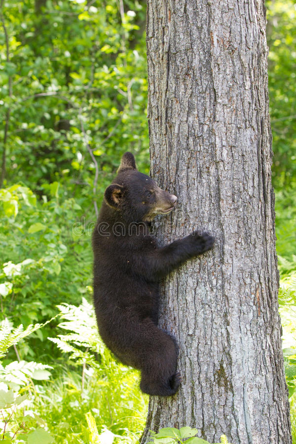 Petit animal d'ours noir de bébé photo stock