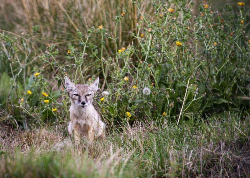 Petit animal de Fox de Corsac photo stock