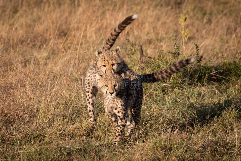 Petit animal de guépard sautant sur un autre appareil-photo de parement photographie stock libre de droits