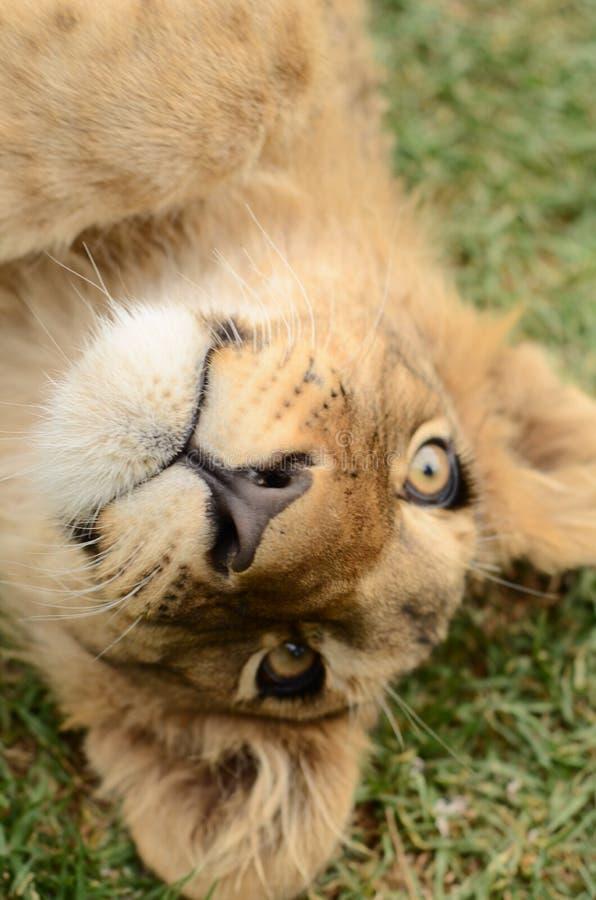 Petit animal de lion africain de bébé à l'envers image libre de droits