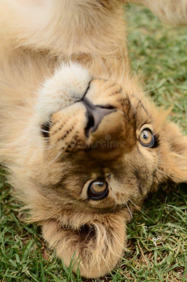 Petit animal de lion africain espiègle à l'envers images stock