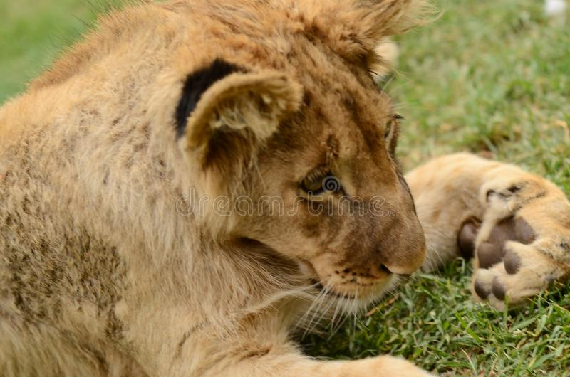 Petit animal de lion africain espiègle idiot photo stock
