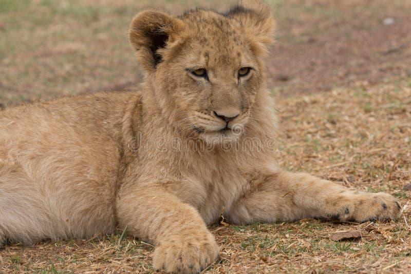 Petit animal de lion Afrique du Sud photo stock