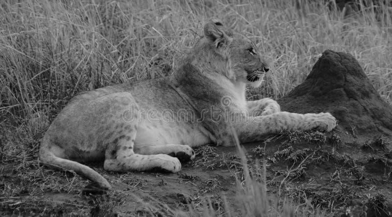 Petit animal de lion Afrique du Sud B&W photos stock