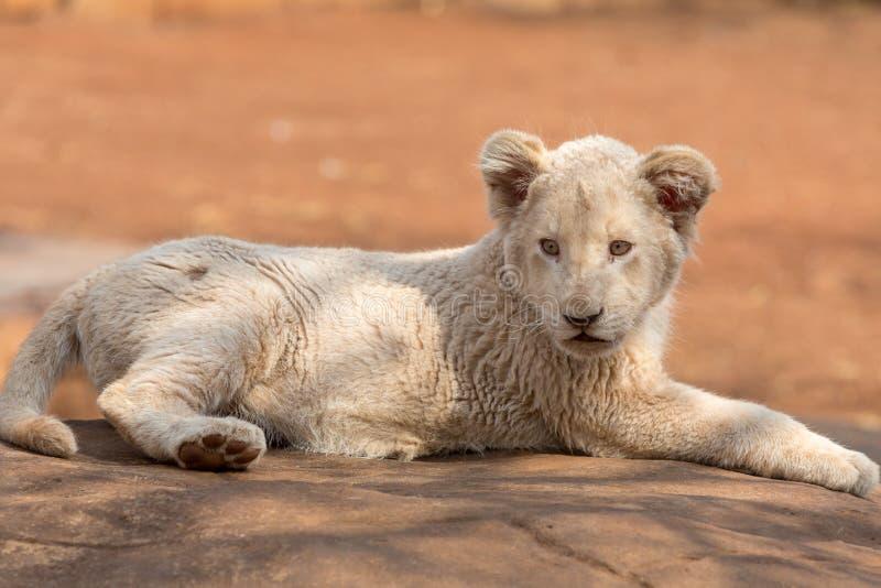 Petit animal de lion blanc Afrique du Sud image libre de droits