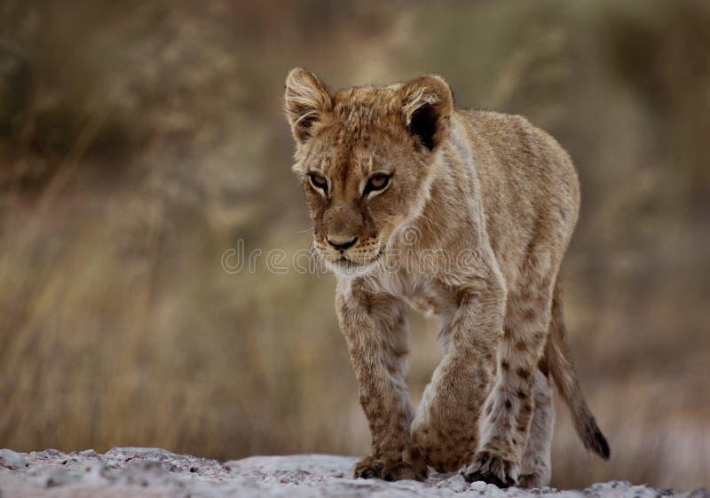 Petit animal de lion focalisé image stock