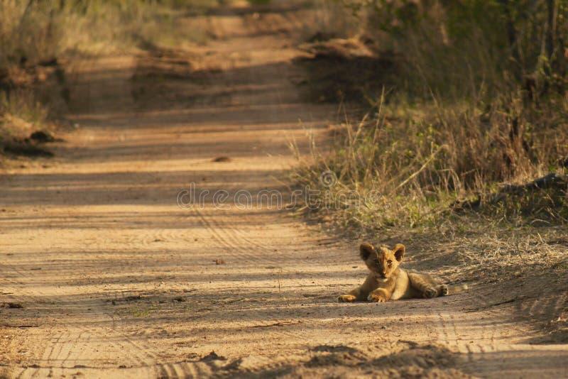 Petit animal de lion minuscule photo libre de droits