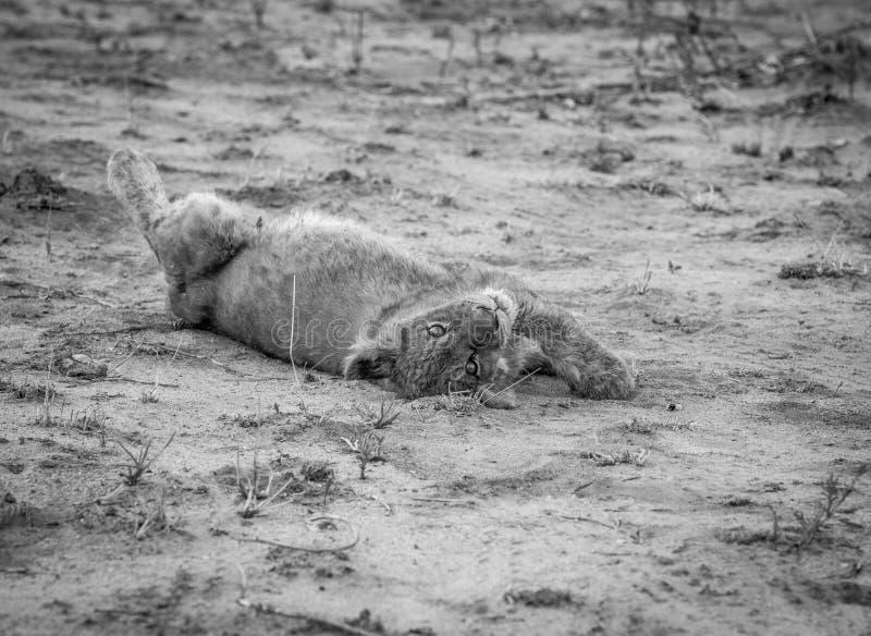 Petit animal de lion s'étendant dans la saleté en noir et blanc photographie stock