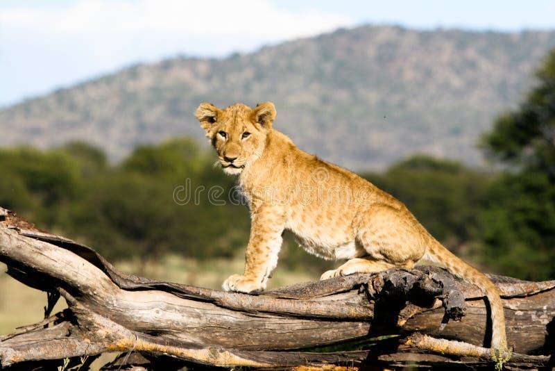 Petit animal de lion sur la branche image stock