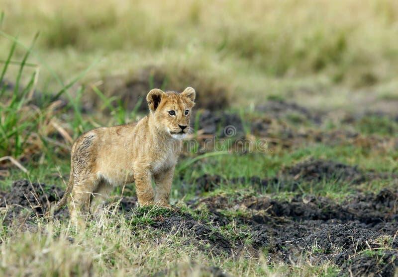 Petit animal de lion sur un monticule, Masa Mara image libre de droits