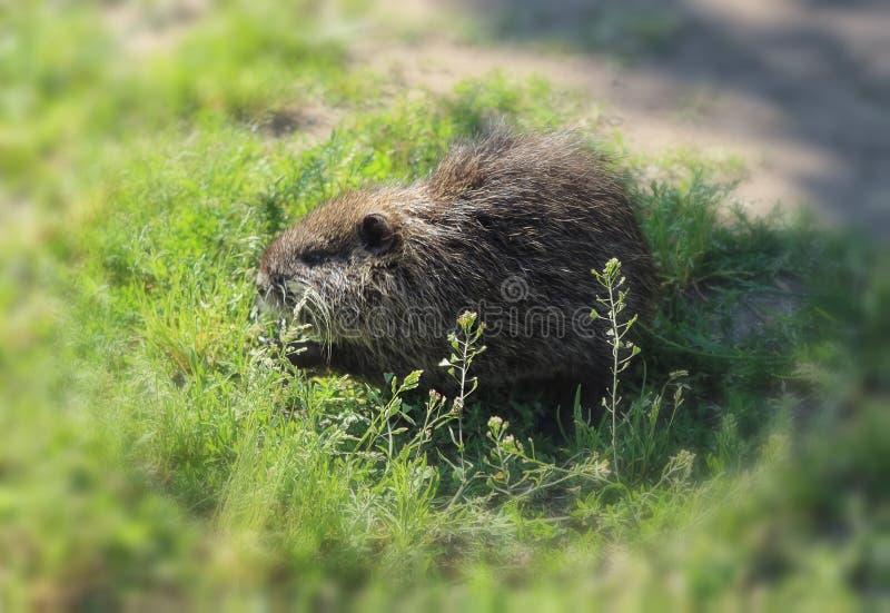 Petit animal de rat musqué à la recherche de nourriture photos stock