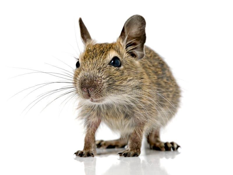 Petit animal familier mignon de degu de rongeur de bébé photo libre de droits