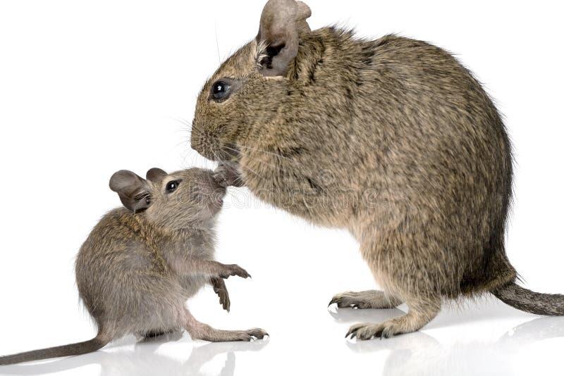 Petit animal familier mignon de degu de rongeur de bébé avec sa maman photo libre de droits