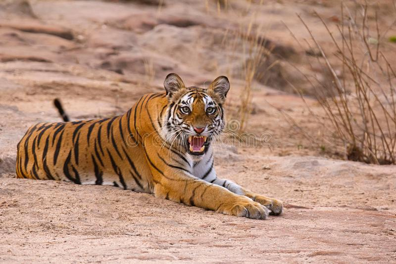 Petit animal femelle de Tiger Panthera le Tigre le Tigre Dhamdhama, Bandhavgarh Tiger Reserve, Madhya Pradesh, Inde photos libres de droits