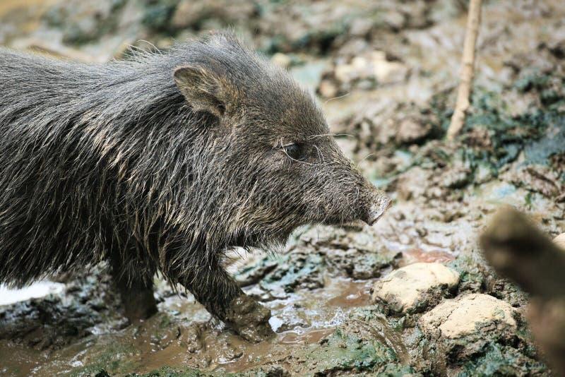 petit animal sauvage mignon de porc dans la boue image stock image du musc sauvage 28915177. Black Bedroom Furniture Sets. Home Design Ideas