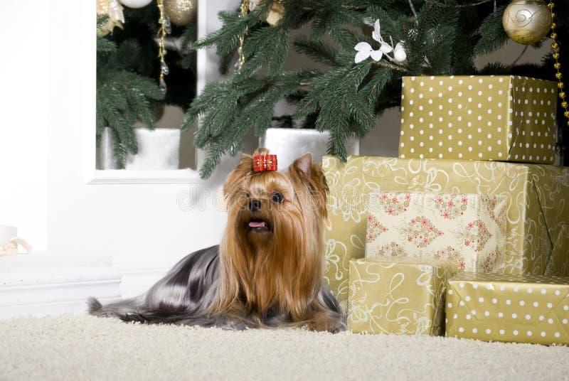 Petit beau chien Yorkshire Terrier photo libre de droits