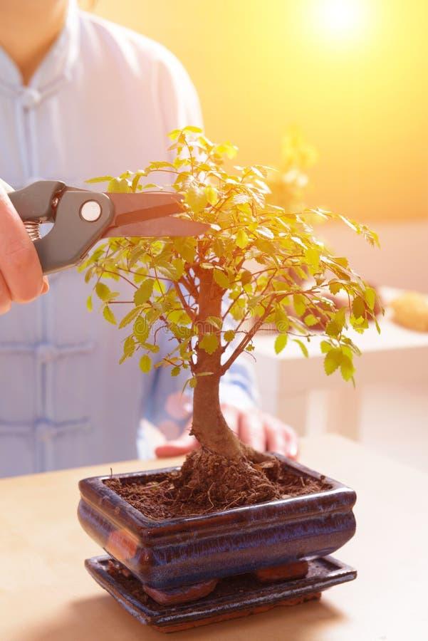 Petit bonsaï en croissance photos libres de droits