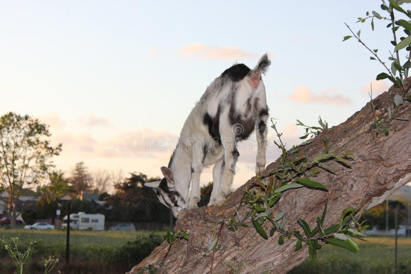 Petit bouc grimpant à un arbre photos stock