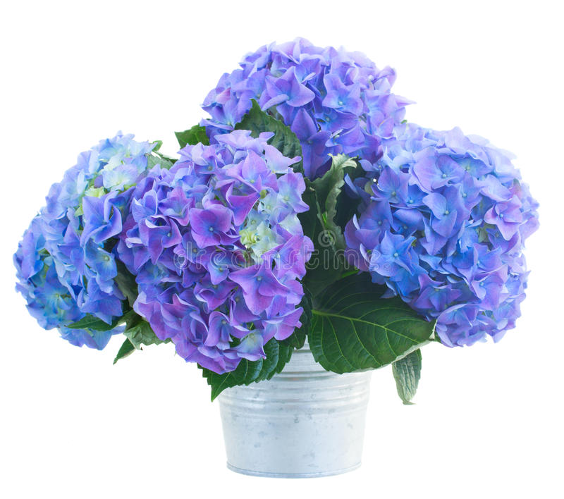 petit bouquet des fleurs bleues de hortensia photo stock image du buisson hydrangea 39726356. Black Bedroom Furniture Sets. Home Design Ideas
