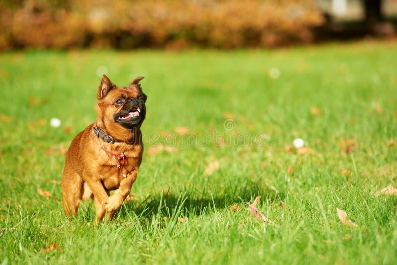 Petit brabanconhond van Brussel van Griffon stock afbeeldingen
