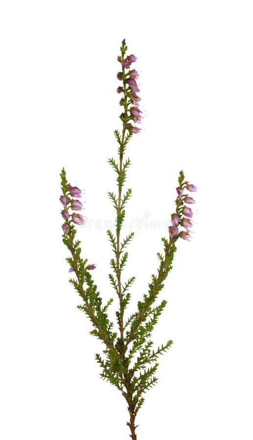 Petit branchement de bruyère avec des fleurs photo stock